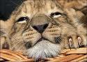 Аватар Рыжий львёнок